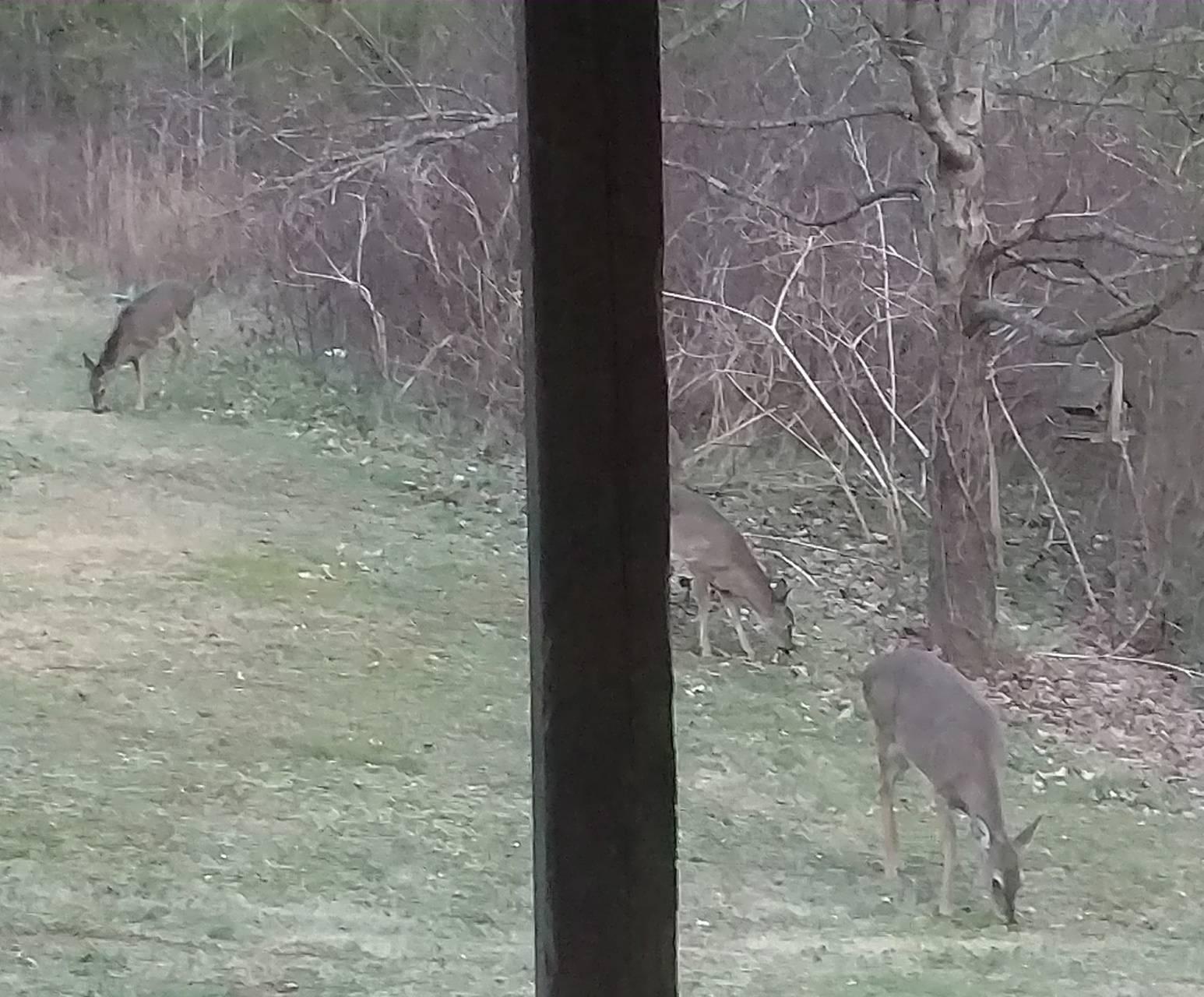 Deer in my backyard