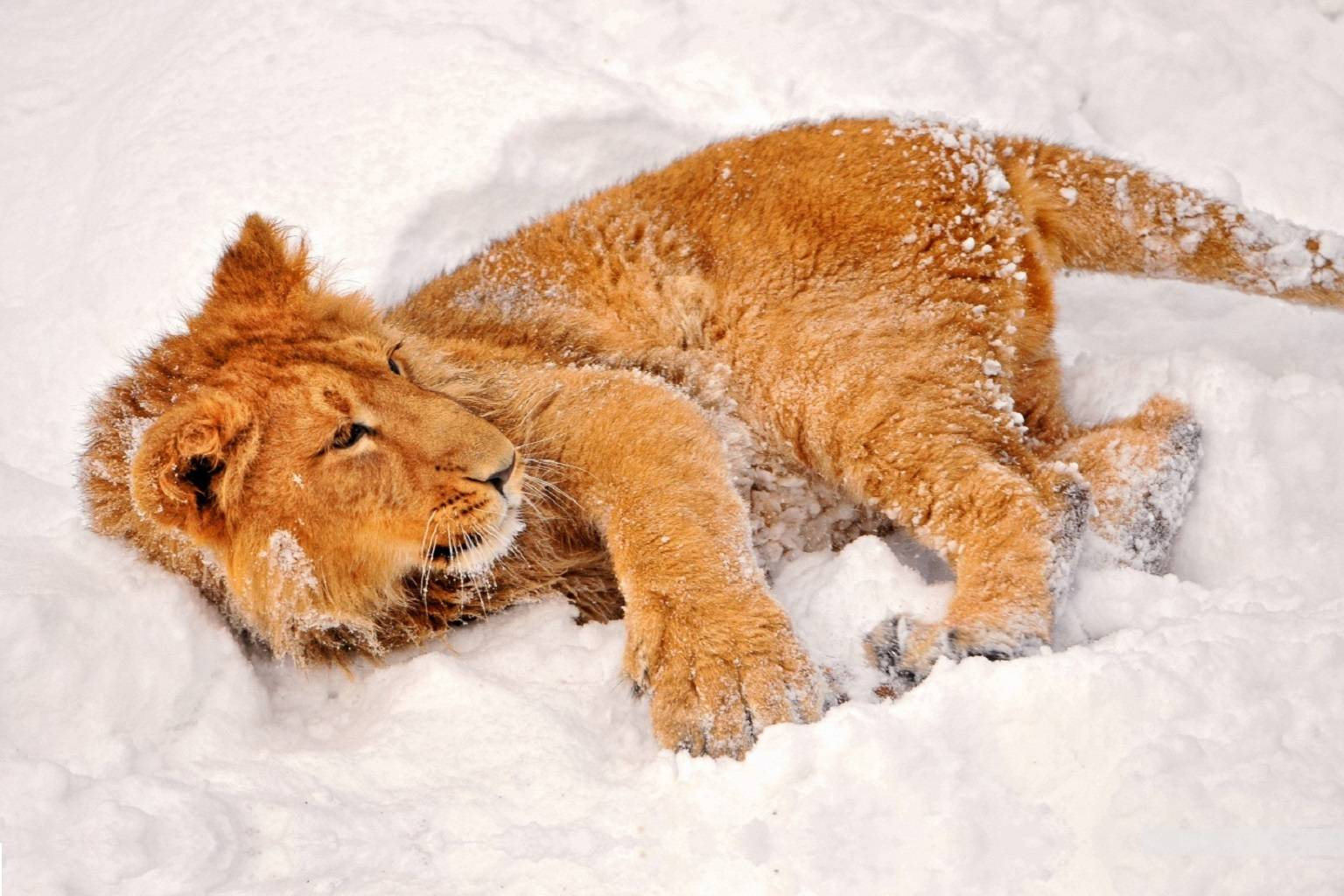 Chilly Cub