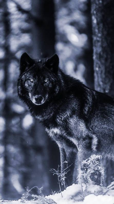 Black wolf wallpapers. Black Wolf