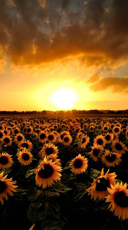 Sunflower Wallpapers Free By Zedge