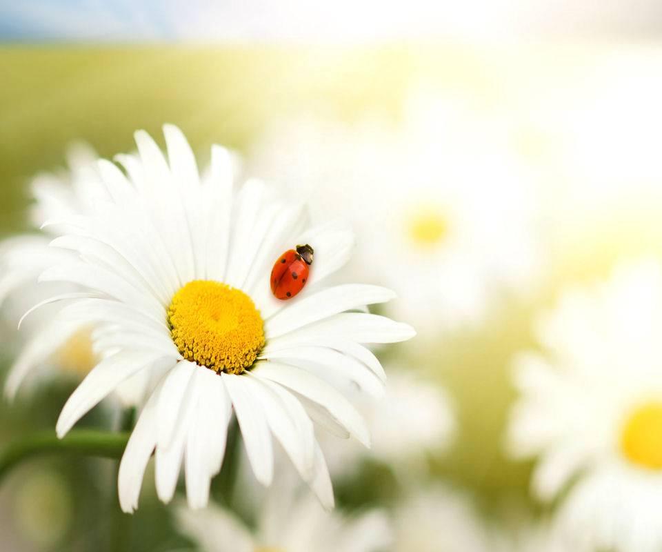 Spring Ladybird