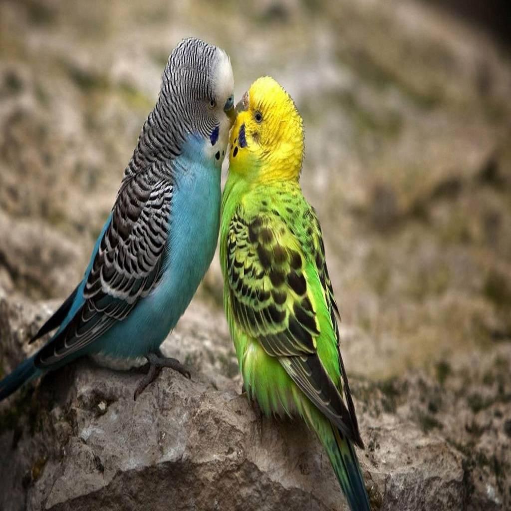 Kissing love bird