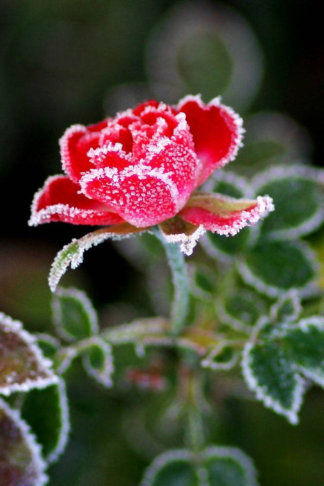 rose in  frost