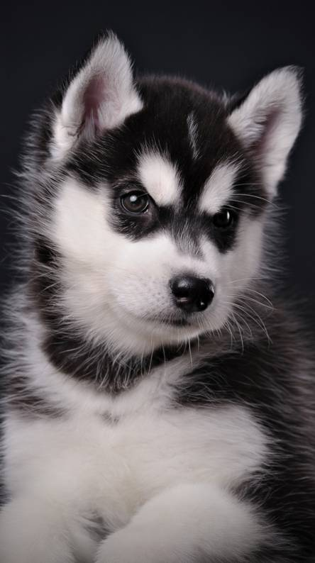 Husky Wallpapers - Free by ZEDGE™