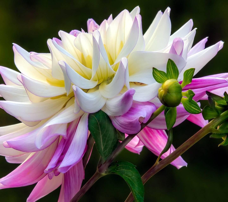 Pink-white Dahlia