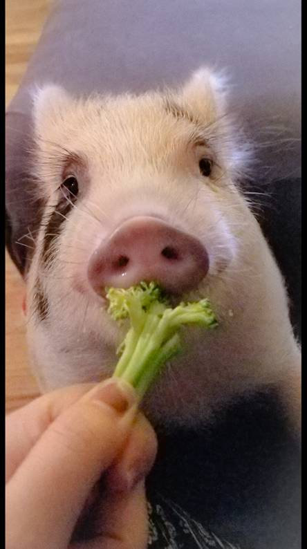 Pig eating veggies