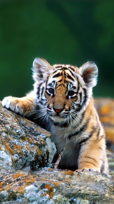 Baby Tiger Wallpapers Free By Zedge