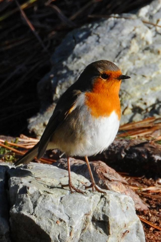 Lovely Robin