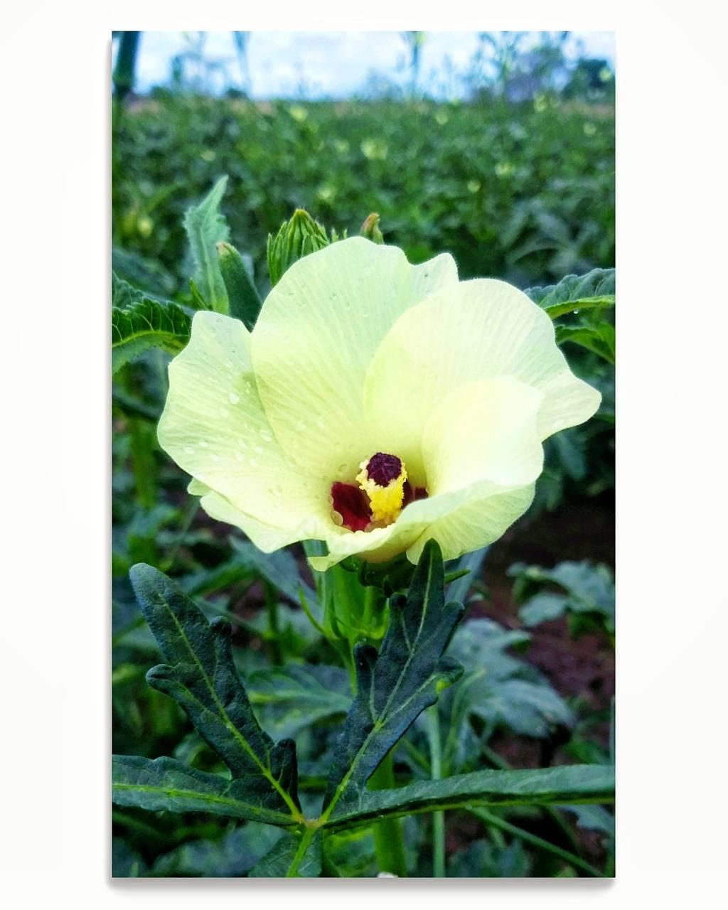 Ladyfingers Flower