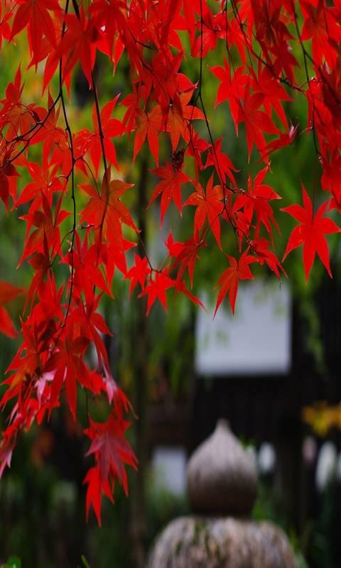 Hd Maple Tree