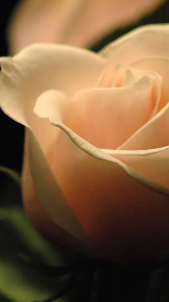 White-ros