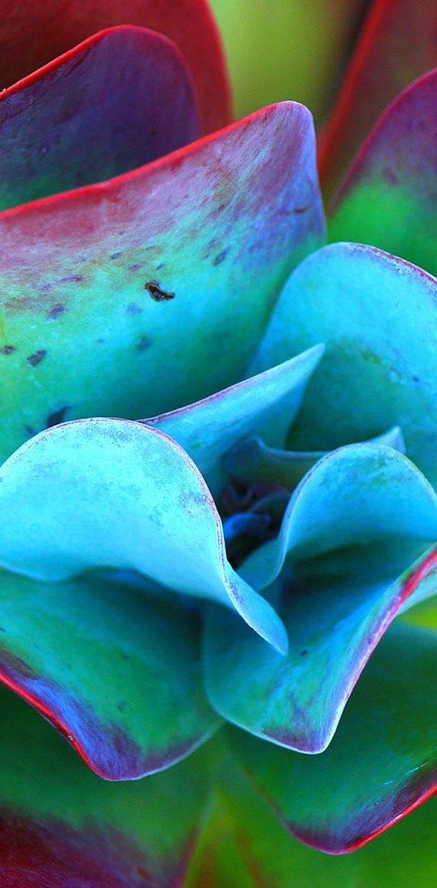 cyan blue rose