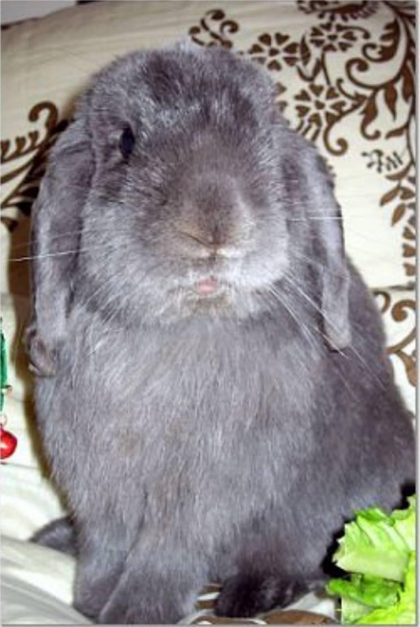 Galdalf Grey Rabbit