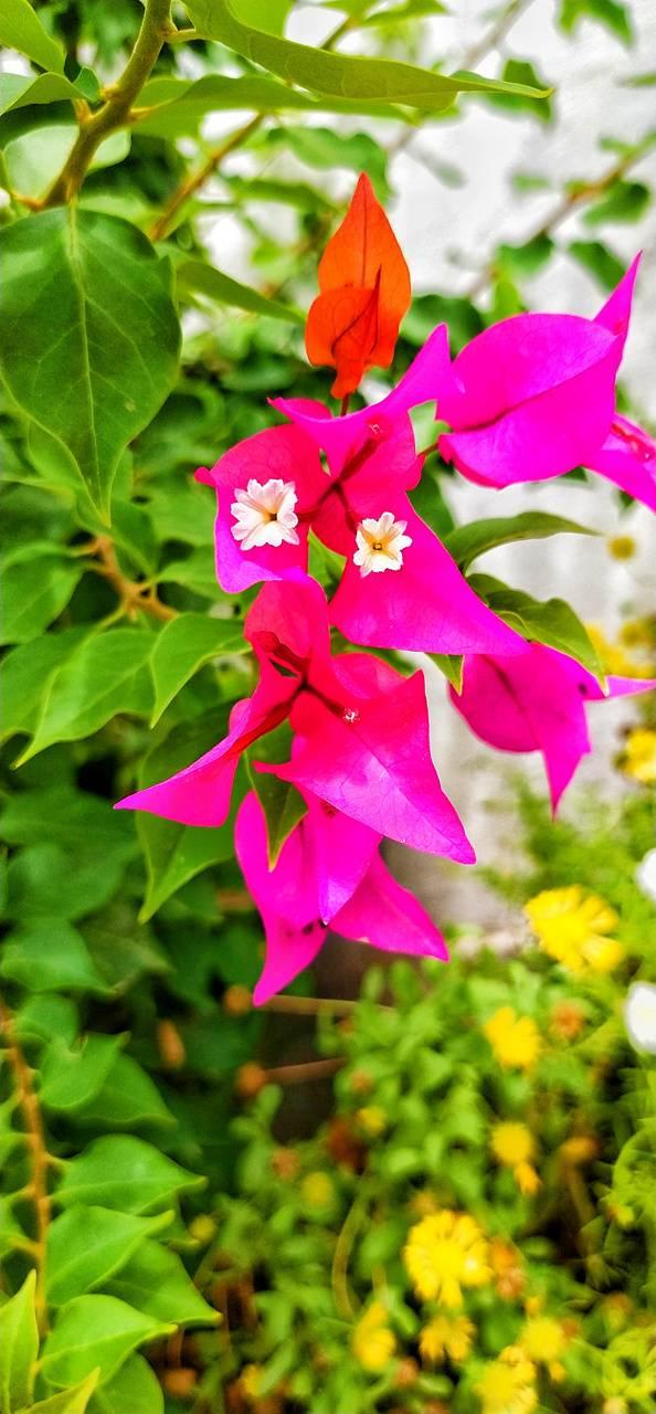 Flowers Bogam bella