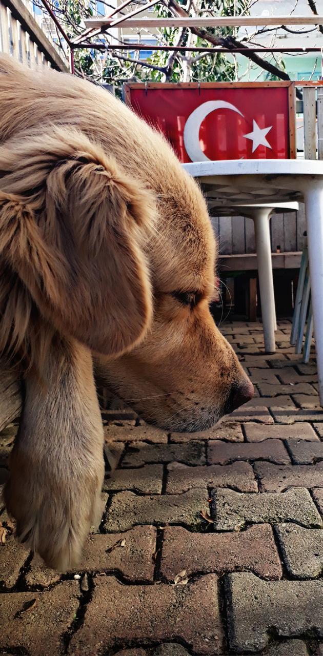 Kopek golden dogs