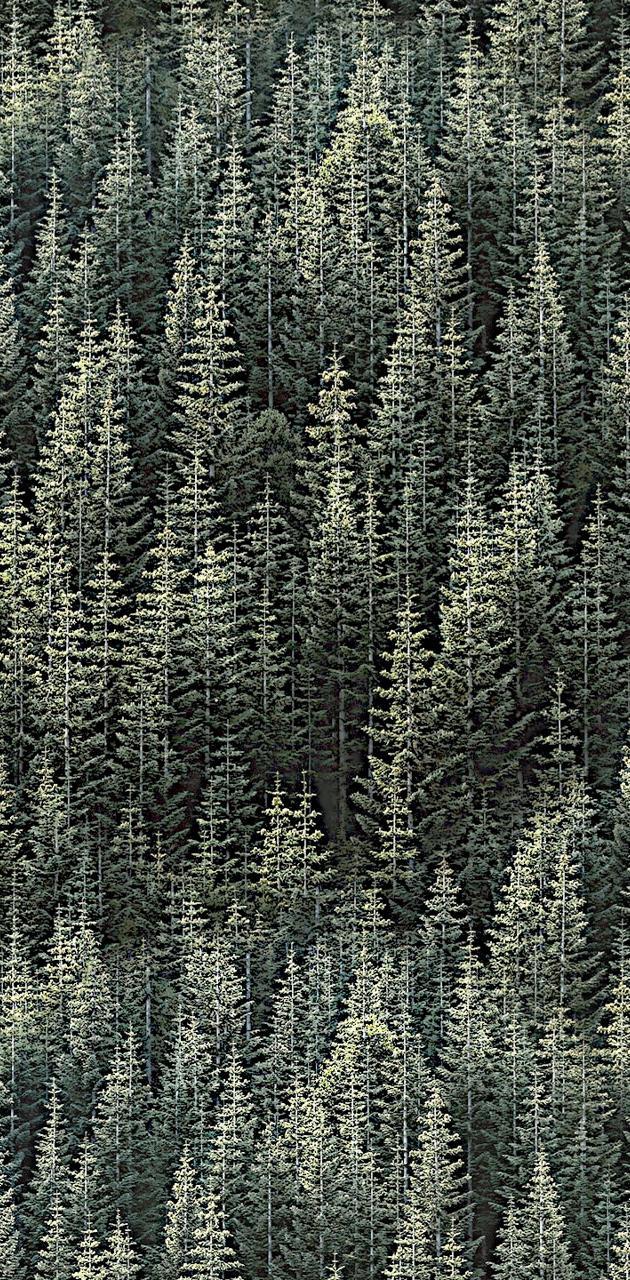 Bosque pino