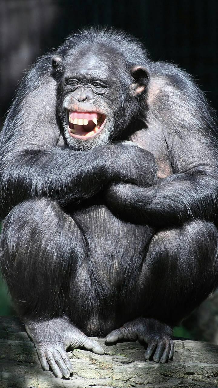 Scimpanze Allegro