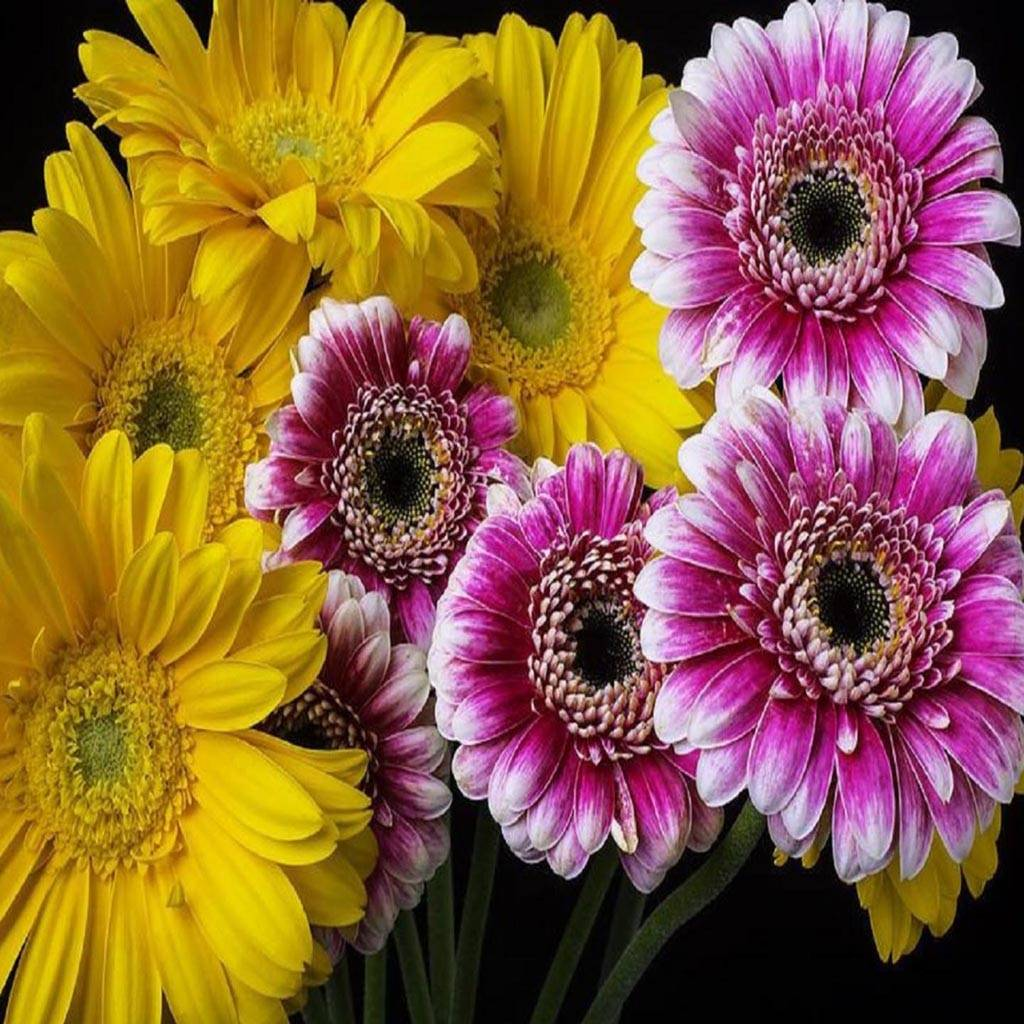 Yellow Pink Gerbera