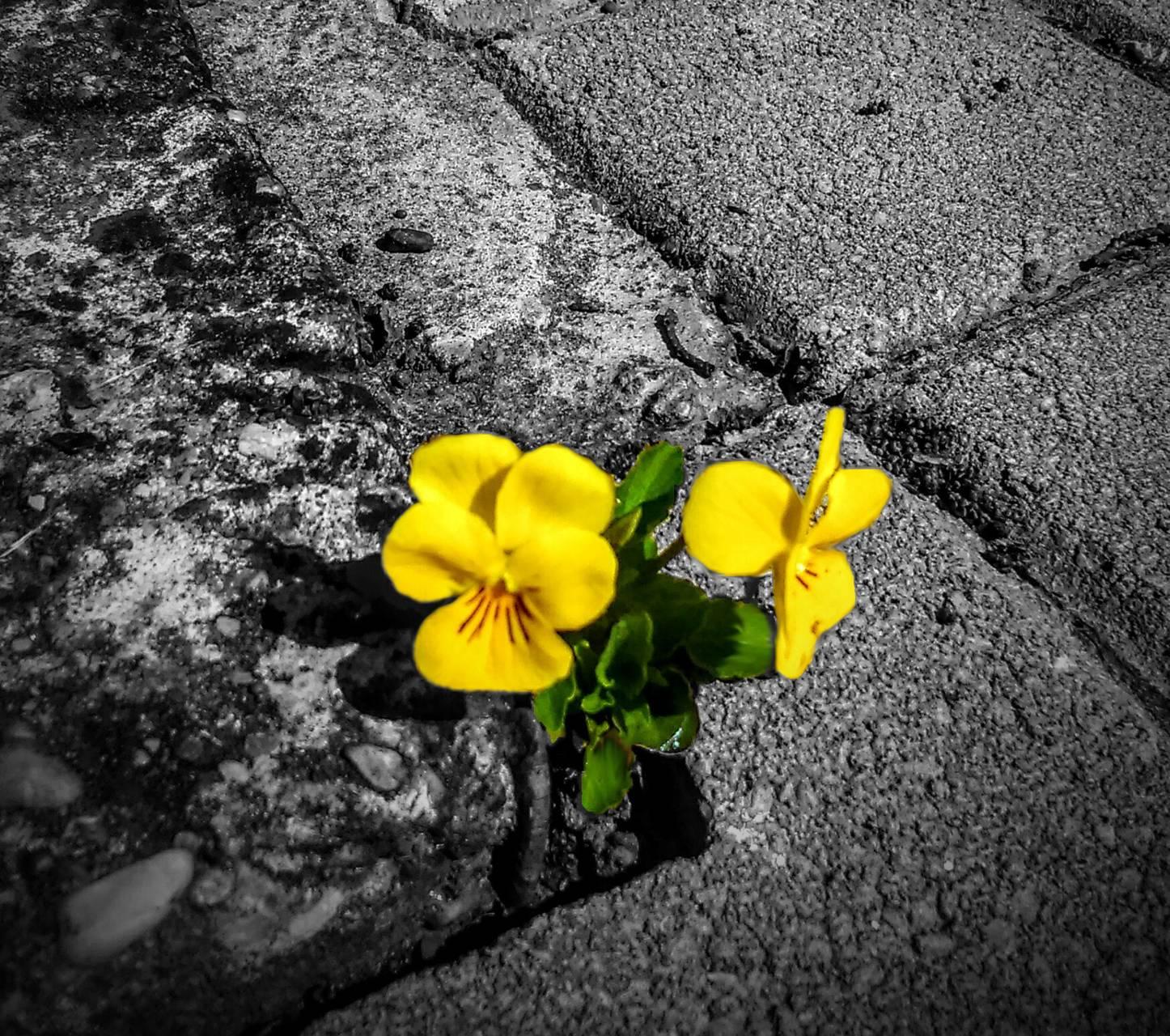 Yellow viola