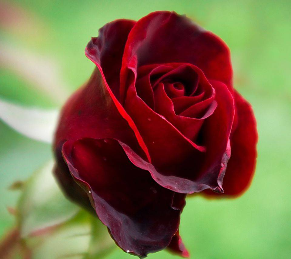 Beautiful Hd Rose