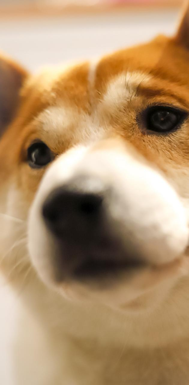 Shiba inu cute nose