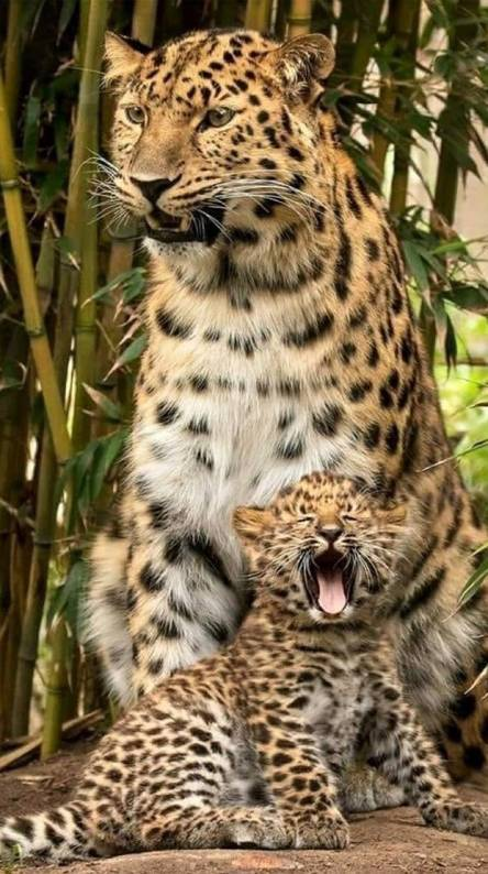 mother leopard