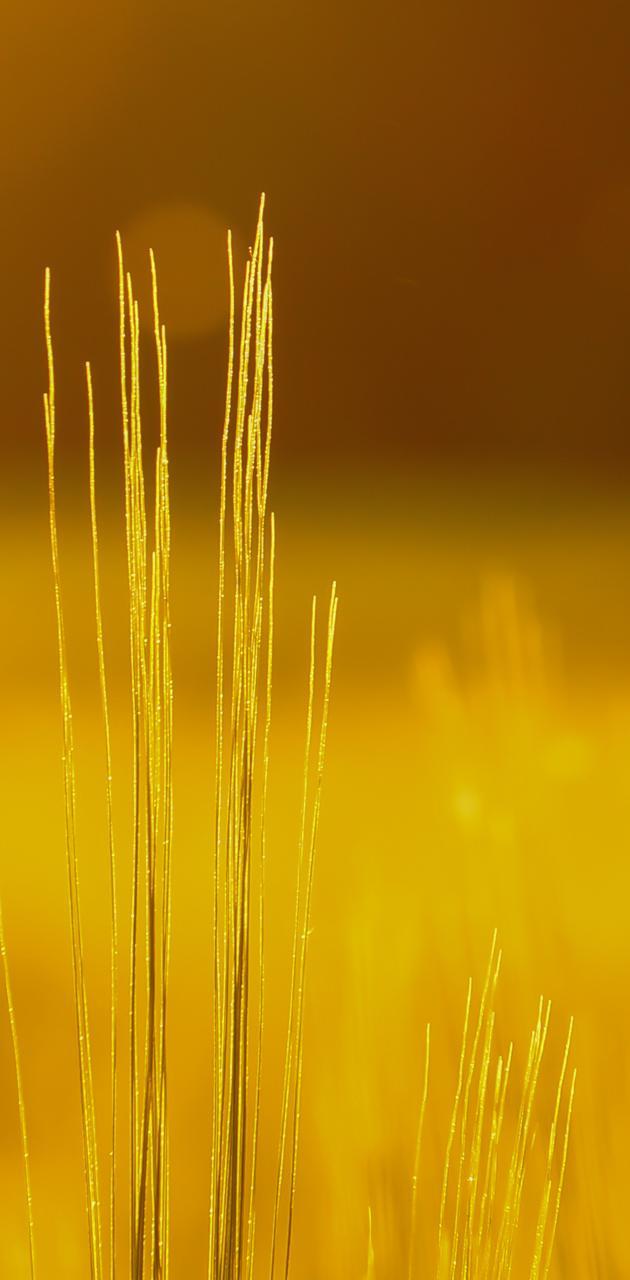 Grains at dawn
