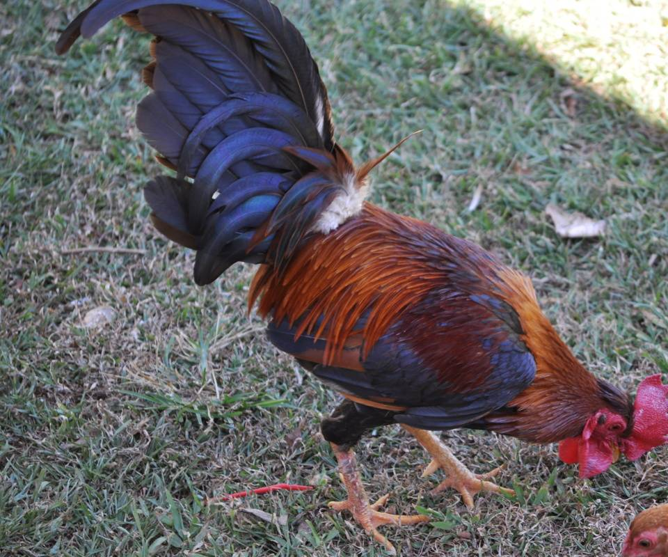 Puerto Rico Rooster