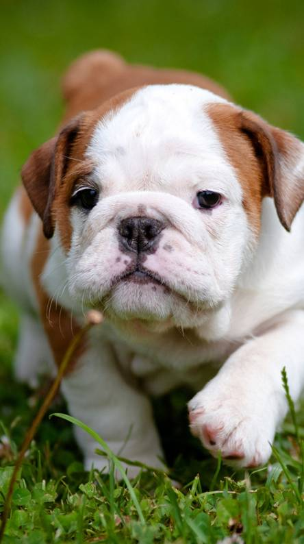 Bulldog Wallpapers Free By Zedge