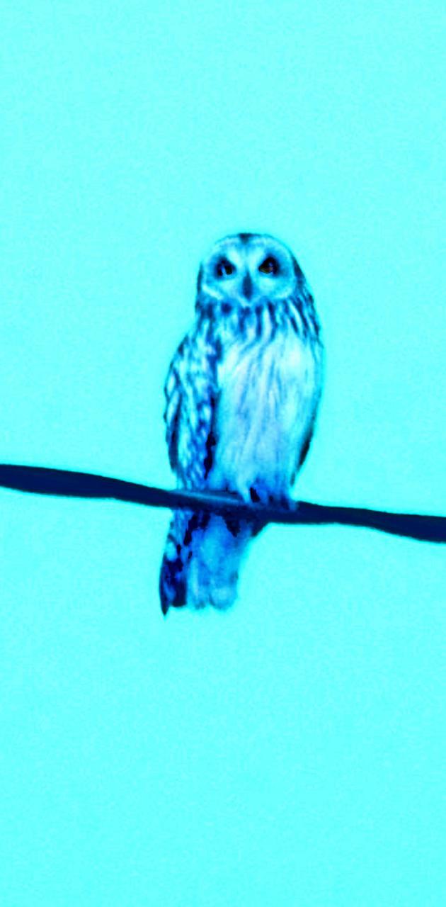 blue cyan owl