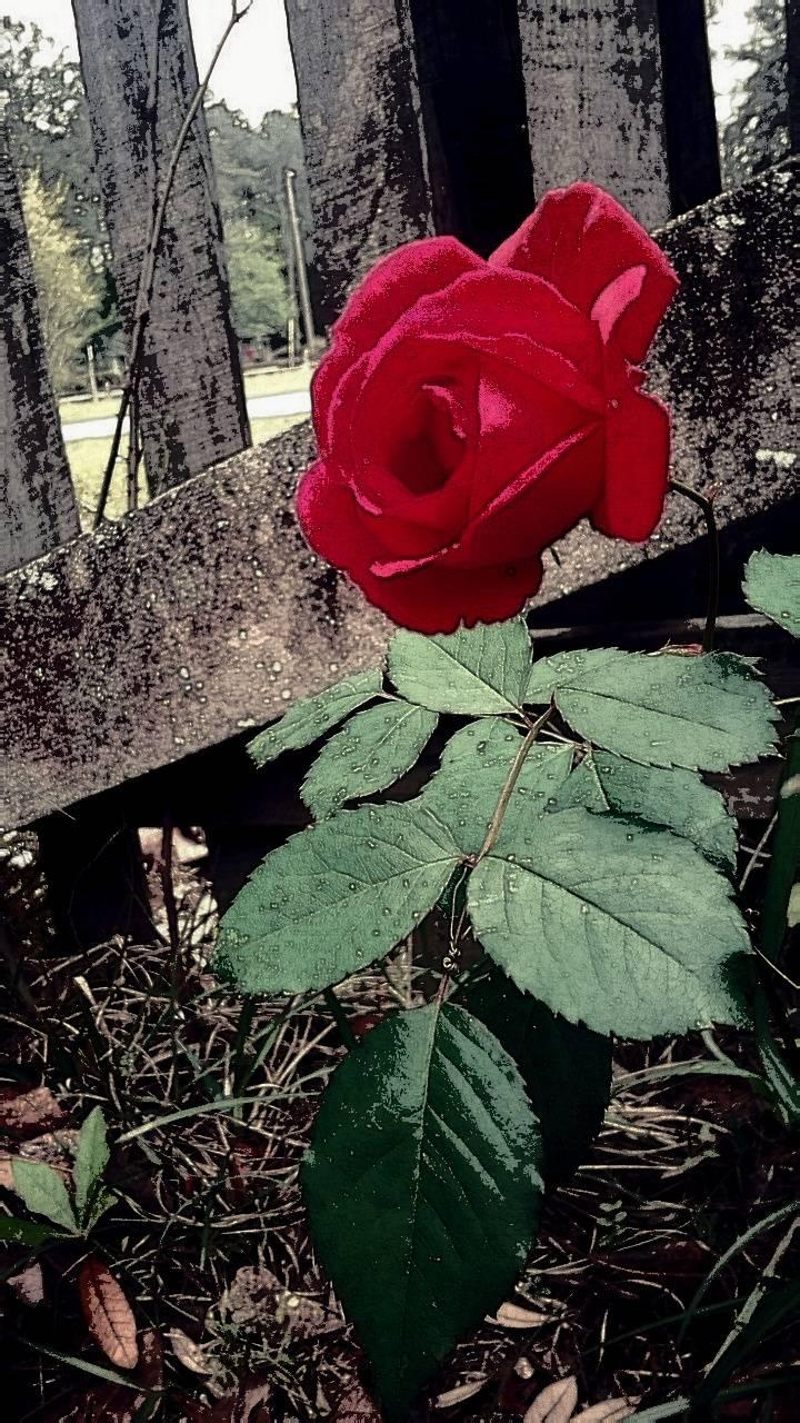 Fenced Rose
