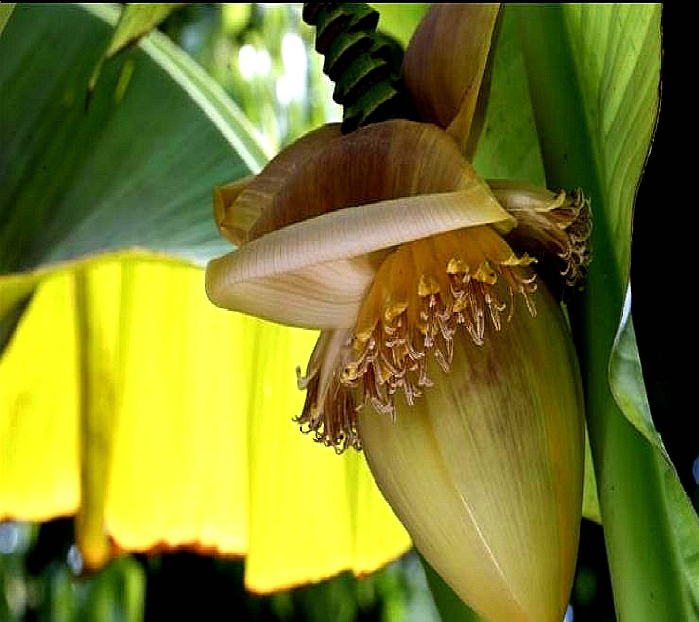 flower bananas