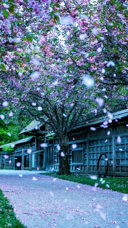 Sakura flower park