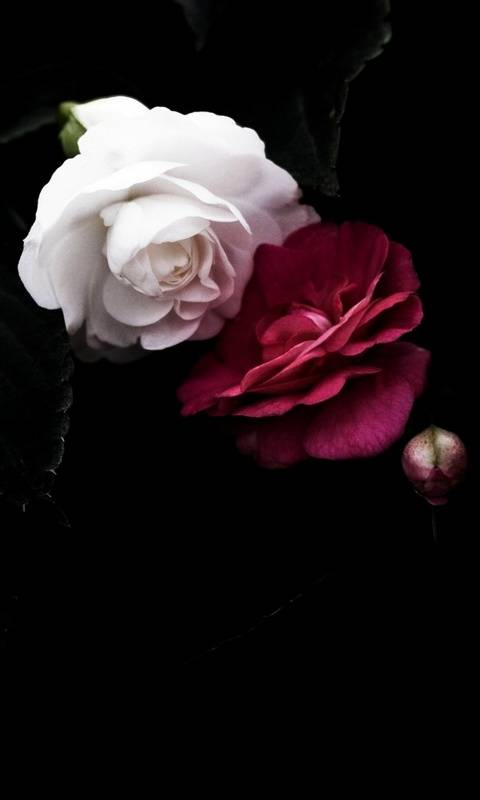 Red N White Rose Wallpaper By Ambition 89 Free On Zedge