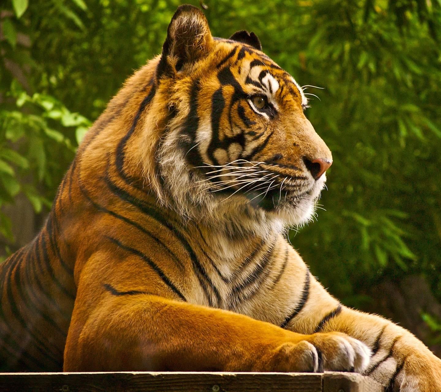 Sumatran Tiger Hd