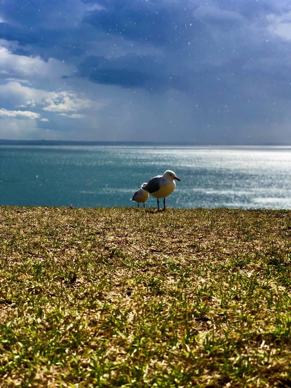 Calm Seagull