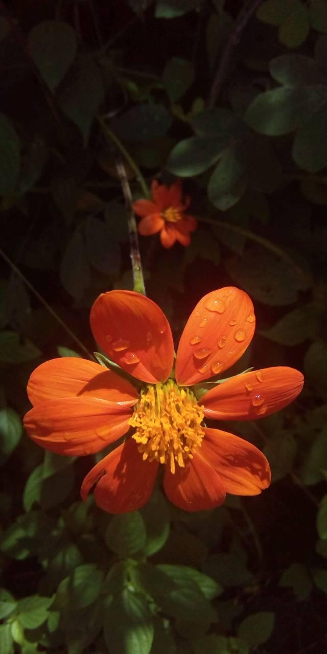 Becon flower