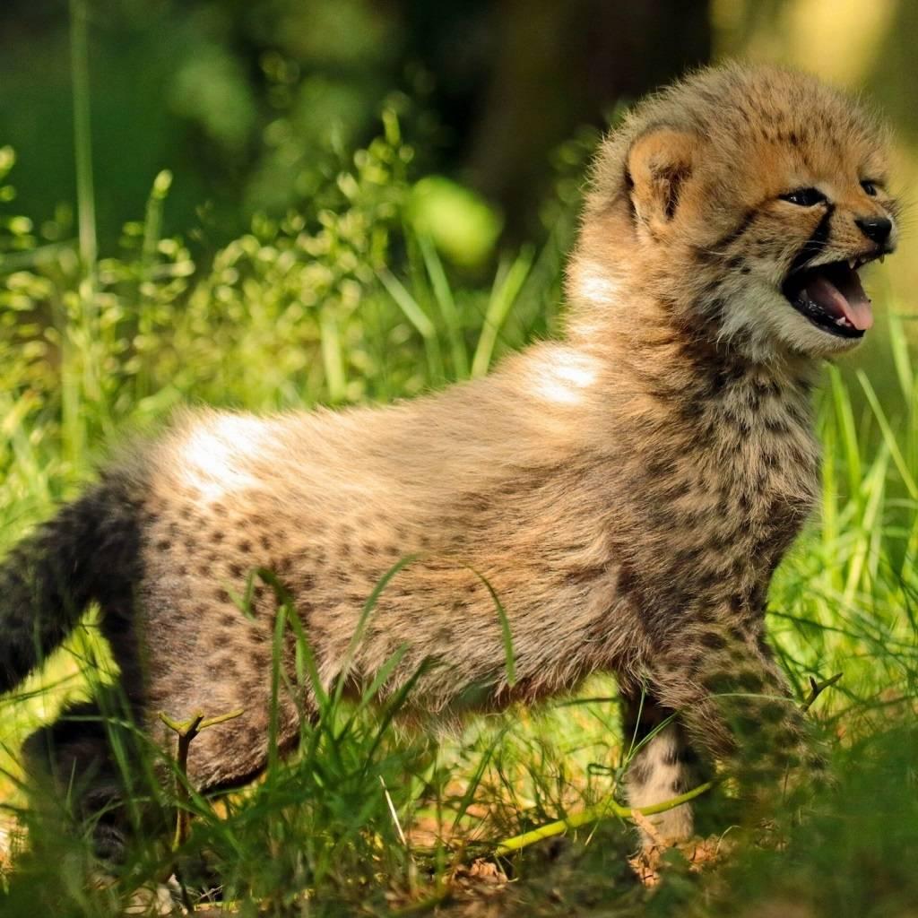 Singing Cheetah