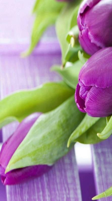 Tulips voilet