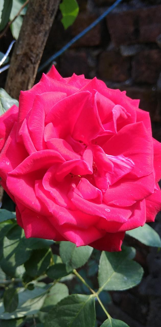 Beautiful Rosd