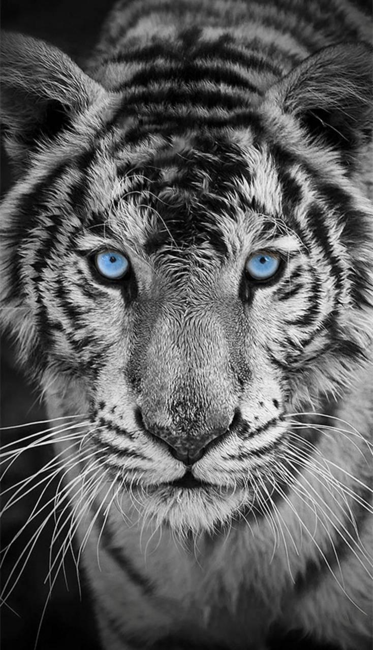 White Tiger Splash