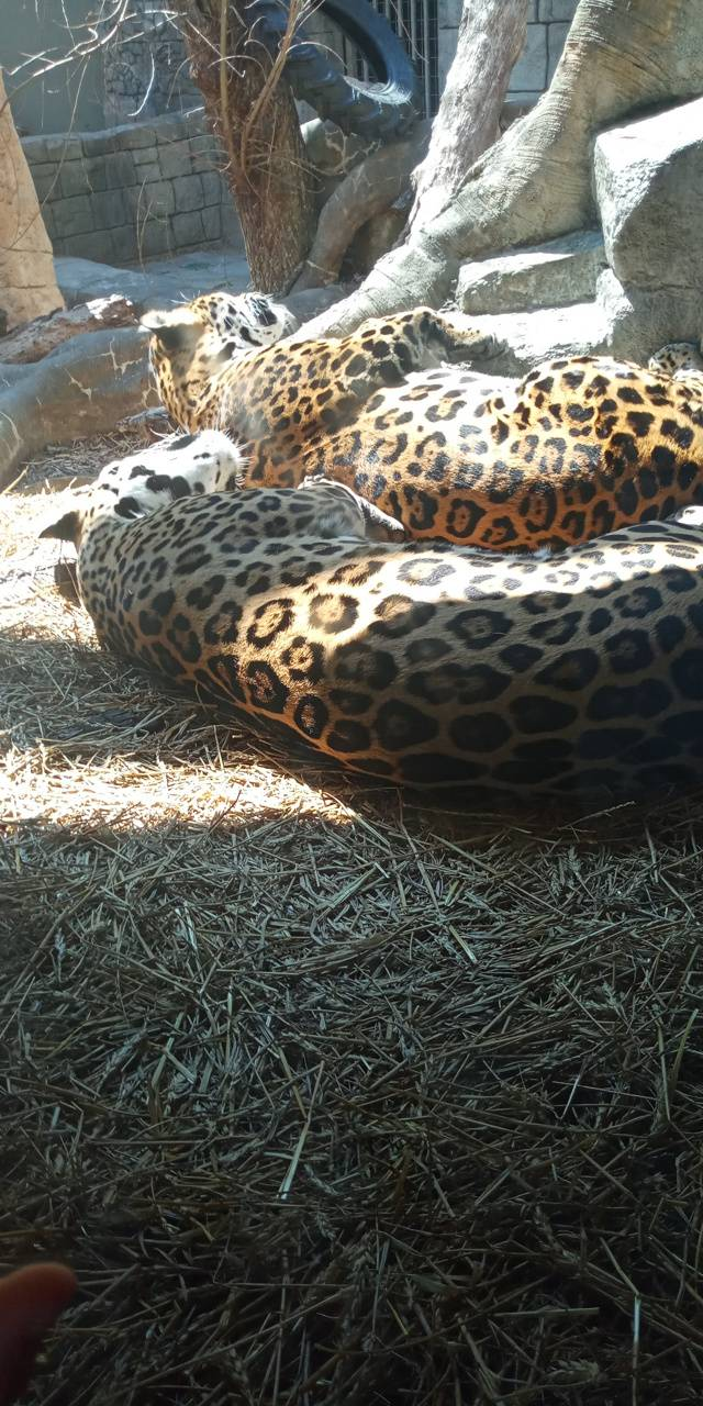 Sleeping jaguars