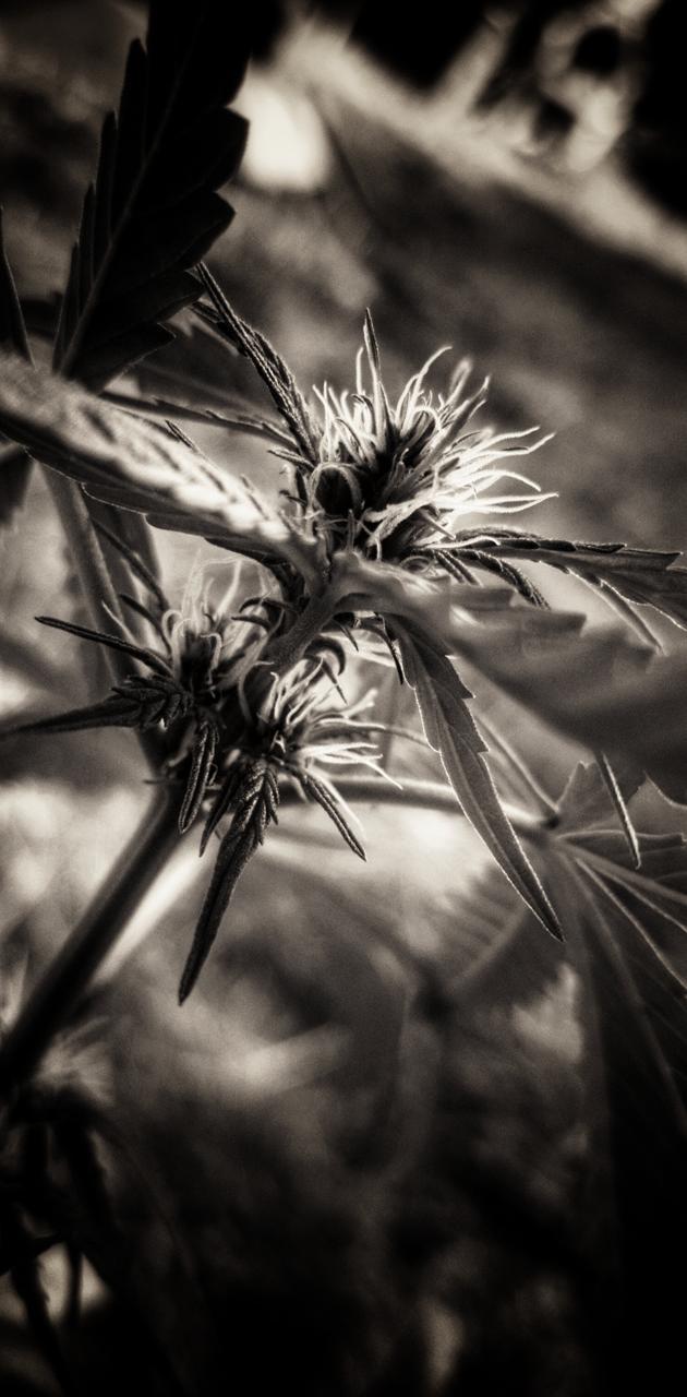 Cannabis plant Bud