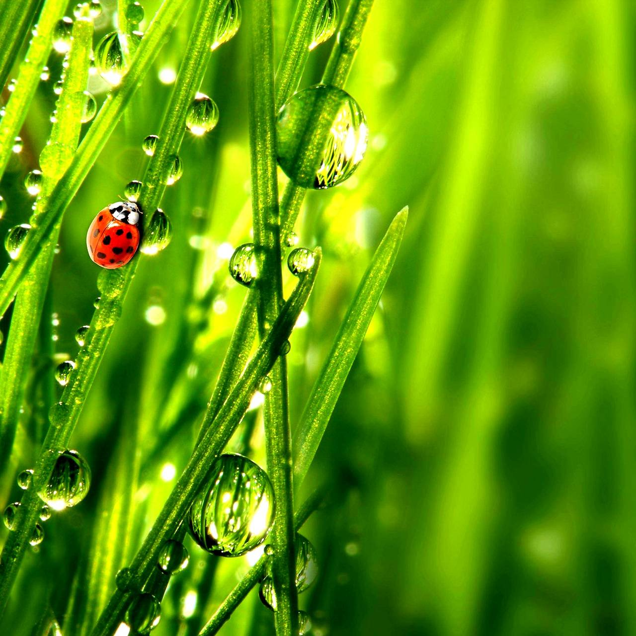 Ladybug Dewdrops